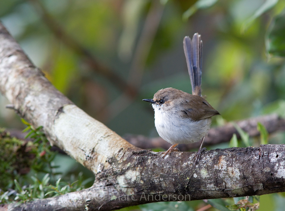 Non-breeding male Superb Fairy Wren (Malurus cyaneus), NSW, Australia