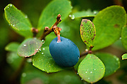 Closeup of Single Blueberry with rain drops on nearby leaves. Summer in Southcentral Alaska.