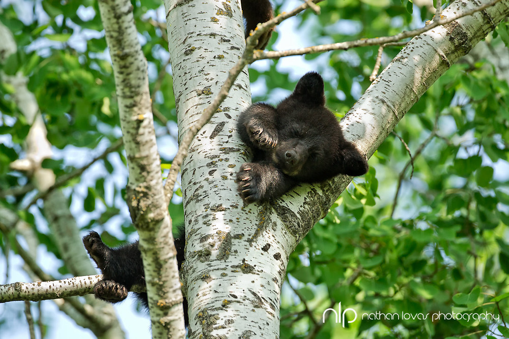Black bear spring cub sleeping in tree ;  taken in wild in Minnesota.