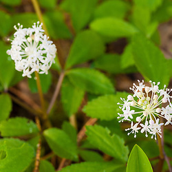 Dwarf ginseng, Panax trifolius, in a Durham, New Hampshire forest.