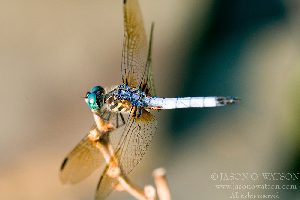 A male Blue Dasher Dragonfly - Pachydiplax longipennis