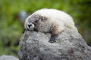 The hoary marmot (Marmota caligata) is a species of marmot that inhabits the mountains of northwest North America. Hoary marmots live near the tree line on slopes with grasses and forbs to eat and rocky areas for cover.<br /> It is the largest North American ground squirrel and is often nicknamed &quot;the whistler&quot; for its high-pitched warning issued to alert other members of the colony to possible danger. The animals are sometimes called &quot;whistle pigs&quot;.