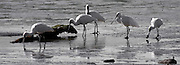 Royal Spoonbill, Catlins, New Zealand (12x33 inch print)