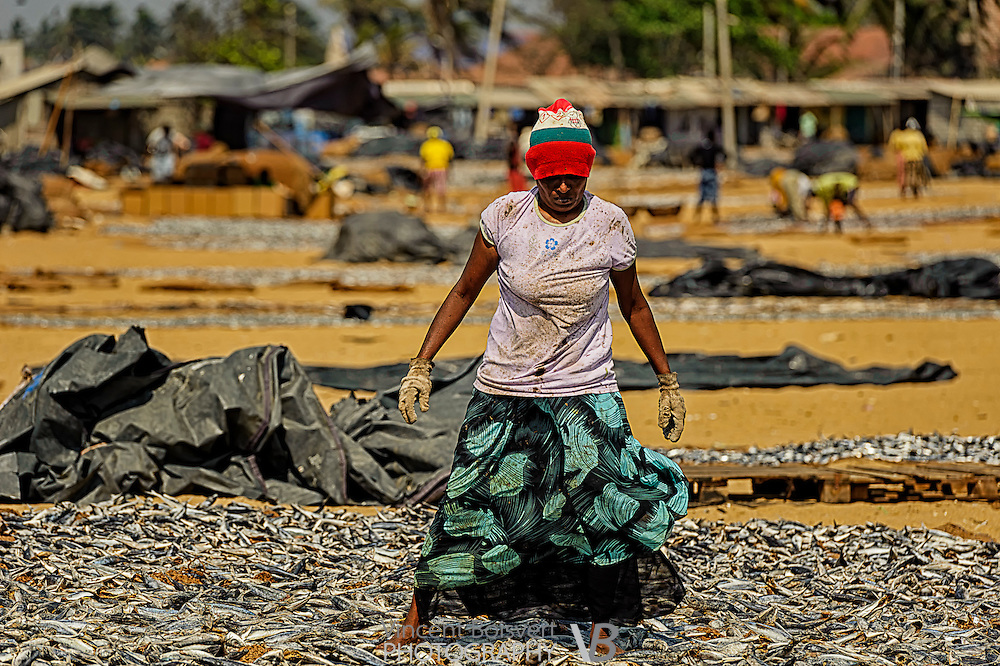 A woman standing and placing drying fish in Negombo fish market, Negombo, Sri Lanka.  This fish market is the second largest fish market in Sri Lanka. It is situated near the Old Dutch Fort Gate and held every day except Sundays