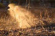 A Meerkat digging in the evening light, throwing plumes of red kalahari sand into the air. A meerkat can shift its bodyweight in sand in only a few seconds.