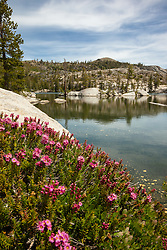 """Mountain Heather at Paradise Lake"" - Photograph of Mountain Heather wildflowers along the shore of Paradise Lake, in the Tahoe National Forest."