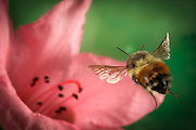 A large bumble bee (Bombus huntii) flies toward a rhododendron flower in NE Oregon.