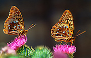 350335-1017 ~ Copyright:  George H. H. Huey ~ Two great spangled fritillary butterflies [Speyeria cybele] on a thistle.  Wasatch Mountains.  [Near Salt Lake City].  Wasatch-Cache National Forest, Utah.