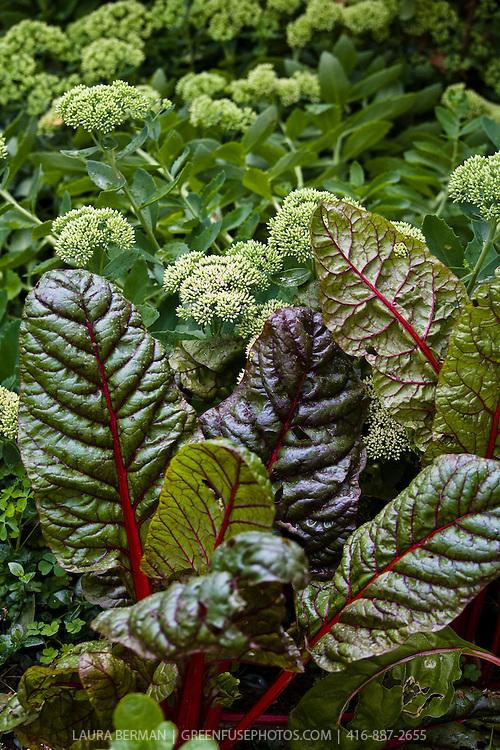 Red stem chard and Sedum in an edible ornamental garden.