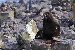 USA ALASKA ST PAUL ISLAND 9JUL12 - An injured male Northern Fur Seal (Callrhinus ursinus) retreated to higher ground at the Reef Point rookery on the island of St. Paul in the Bering Sea, Alaska.....Photo by Jiri Rezac / Greenpeace....© Jiri Rezac / Greenpeace
