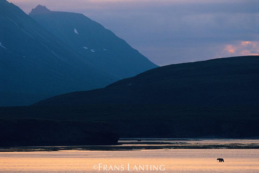 Brown bear at dusk, Ursus arctos, Katmai National Park, Alaska