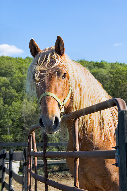 A friendly Rocky Mountain palomino stallion with long flowing beautiful blonde mane comes to the gate to say hello.