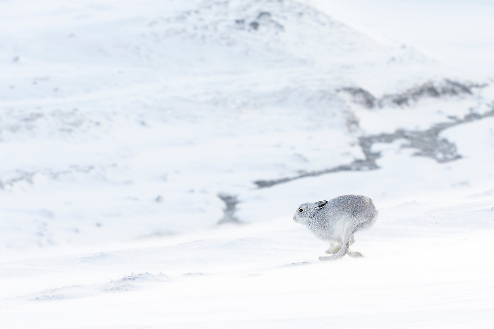 Mountain Hare (Lepus timidus) in winter coat running across snow-covered upland, Scotland