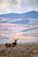Bull elk, autumn color, Jackson Hole, Wyoming. What a surprise it was to find this herd of rutting elk at noon at Windy Point in Grand Teton National Park