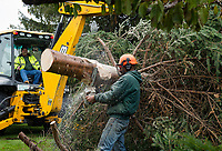 Laconia Public Works Steve Smith at the backhoe while Lucas Lamos trims the base of a 30' balsam fir being placed at Veterans Square for the upcoming holiday season on Thursday morning.  (Karen Bobotas/for the Laconia Daily Sun)