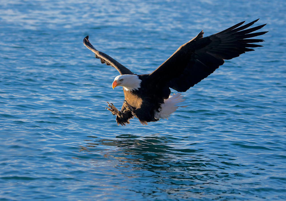 Alaska. Bald Eagle (Haliaeetus leucocephalus) with talons extended, reaching to grab a fish in the water, Kachemak Bay.