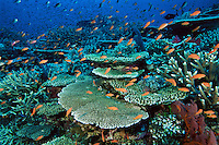 Anthias and hard corals on a Fiji reef.  Primarily Lyretail Anthias (Pseudanthias squamipinnis)..Vatu-i-Ra, Fiji.  Oct 03
