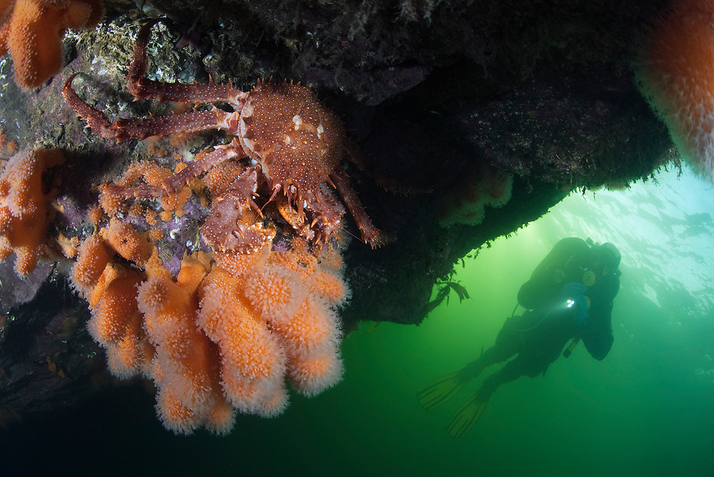Dead man's finger coral, a northern stone crab and a diver.<br /> Location: Trondheim fjord<br /> Alcyonium digitatum or dead man's fingers is a species of soft coral in the Alcyoniidae family. It is found around the coasts of the northern Atlantic Ocean. Northern stone crab (Lithodes maja) is a species of king crab which occurs in the colder waters of Europe and North America. It is found along entire coast of Norway, the northern half of the British Isles, and around the Faroe Islands, Iceland, Svalbard and off south-eastern Greenland. In Canada, it is found from Newfoundland southwards.
