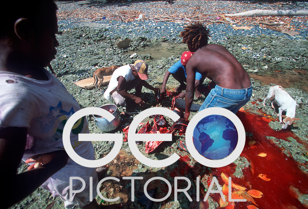 A boy watches as a dolphin speared by the men of Kontu is butchered on the reef shallows..Kontu, New Ireland Province, Papua New Guinea;
