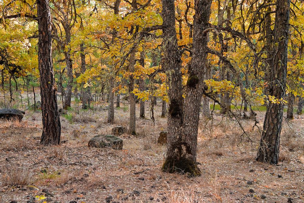 autumn Garry Oak, (Quercus garryana) and Ponderosa Pine (Pinus ponderosa) forest, Klickitat County, WA, USA
