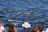 Visitors and local people gathering to watch Bottle-nosed Dolphins on an incoming tide at Chanonry Point,<br /> Tursiops truncatus,<br /> Moray Firth, Nr Inverness, Scotland - July