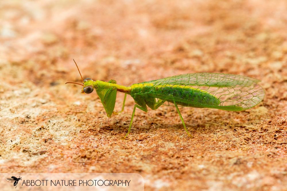Green Mantisfly (Zeugomantispa minuta)<br /> United States: Alabama: Tuscaloosa Co.<br /> Tulip Tree Springs off Echola Rd.; Elrod<br /> 6-Jun-2016<br /> J.C. Abbott #2826 &amp; K.K. Abbott