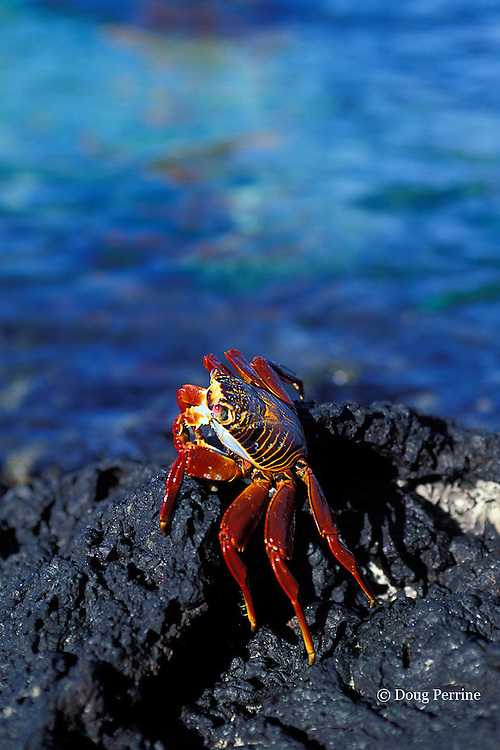 Sally Lightfoot crab, Grapsus grapsus, Galapagos Islands, Ecuador,  ( Eastern Pacific Ocean )