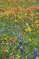 Bluebonnet, Indian Blanket and Thelesperma, San Saba County, Texas