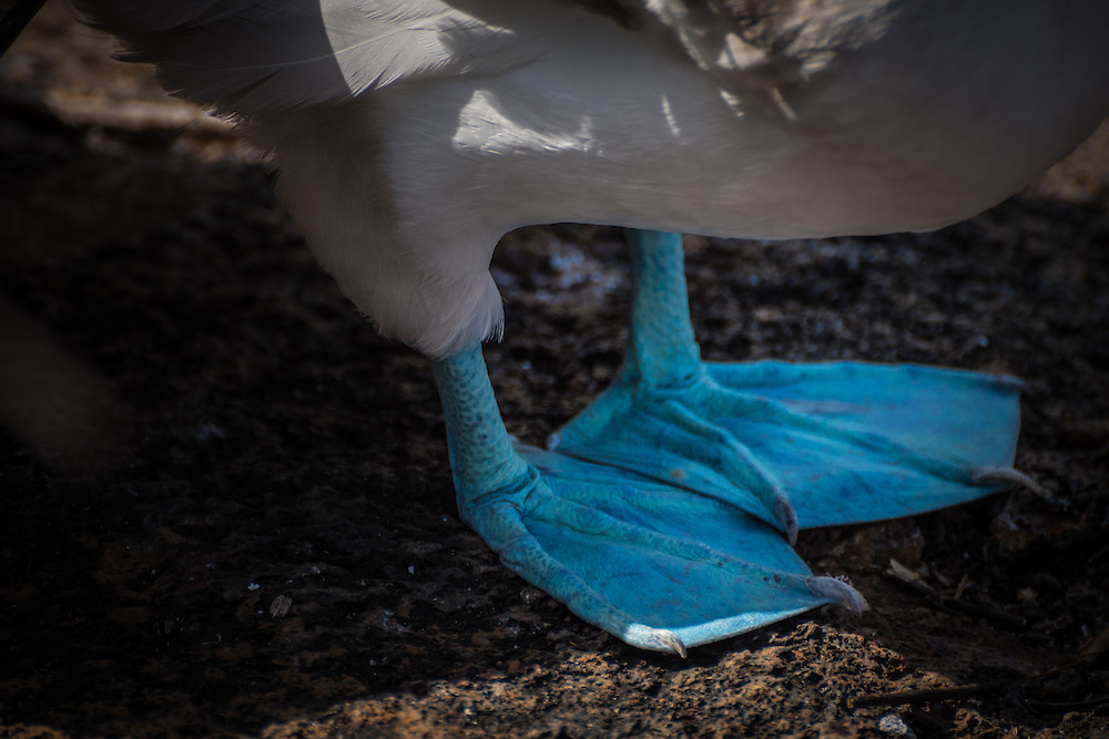 Close-up of the feet of a blue footed booby, Isla Isabela, Galapagos, Ecuador.