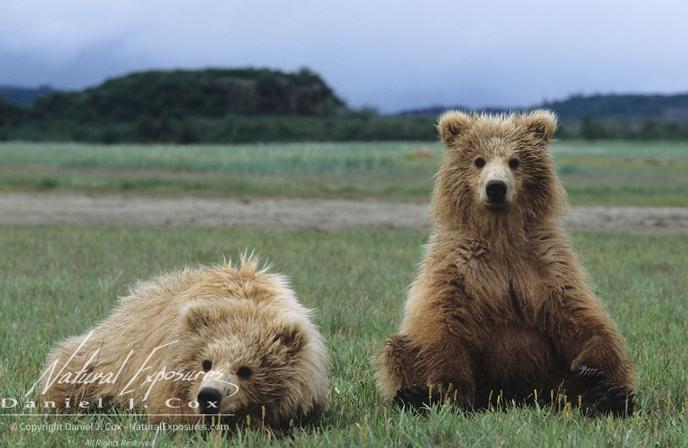Alaskan Brown Bear cubs in Katmai National Park, Alaska.