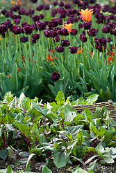 Looking over spinach towards tulips in the vegetable garden