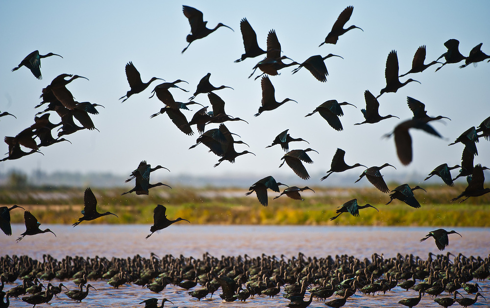 White-faced Ibis fill the skies over the rice fields near Marysville. Their recovery in recent decades attests to the successful efforts of government, farming and citizen conservation to restore the wetlands of the Central Valley. November 1, 2011.