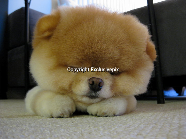 Is this the cutest dog in the world? Boo the Pomeranian has millions of fans and his own book<br /> <br /> <br /> He has nearly two million fans and a book deal.<br /> But Boo isn't a reality TV star, actor or a pop singer - he's a pet dog.<br /> The five-year-old Pomeranian has the fame most celebrities dream of after amassing 1.79million fans on social networking site Facebook.&nbsp;<br /> His owner, who has concealed her identity and location in the U.S. and uses the pseudonym J.H Lee told Time:'My friends loved looking at pictures of him. <br /> 'We started the first Facebook page as a joke.'<br /> Boo shot to fame when he realised the key to looking so good in photographs is a great haircut.<br /> The canine's unique look is down to an happy accident - his long hair was so knotted, it had to be shaved off.<br /> Lee said: 'The groomer said they wouldn't even be able to get a brush through him.<br /> 'I was really upset when I heard that. But when I picked him up, I found he was actually really cute that way.'<br /> Boo has been busy promoting his new book, a collection of photographs entitled 'Boo, the life of the world's cutest dog.'<br /> The &pound;8.99 book features exclusive photographs of Boo 'doing all his favorite things, lounging around, playing with friends, exploring the whole wide world, and making those famous puppy-dog eyes.'<br /> And judging by his success so far, it's sure to be a bestseller<br /> &copy;Boo/Exclusivepix