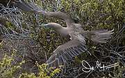 A Red-footed booby takes flight at Punta Pitt, San Cristobal island, Galapagos archipelago of Ecuador.