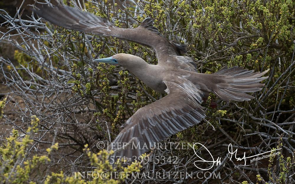 A Red-footed booby takes flight at Punta Pitt, San Cristobal island, Galapagos archipelago of Ecuador.
