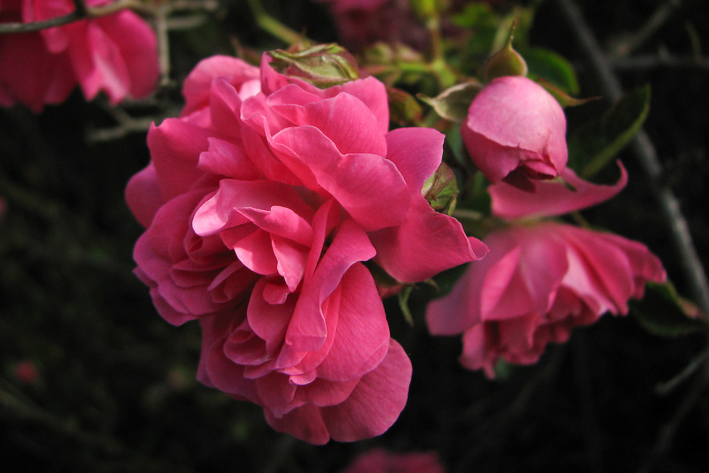 This rambling rose, Dorothy Perkins was named after the granddaughter of one of the founders of Jackson and Perkins rose nursery. It has a long history going back to 1901.
