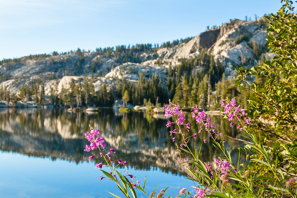 """Fireweed at Paradise Lake 1"" - These Fireweed wildflowers were photographed at Paradise Lake, California."