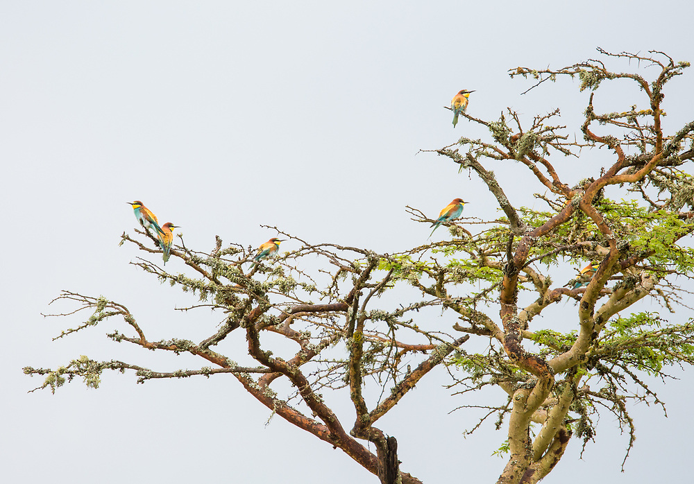 European bee-eaters in an acacia tree