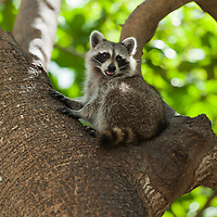 Raccoon on tree, Miami, Florida, USA..