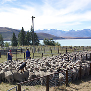 A sheep dog jumps on the sheeps back as it helps to herd sheep during the New Zealand Farming and Horticulture, Sheep Sales, at Lake Tekapo in Mackenzie Country, South Island, New Zealand. 24th February 2011, Photo Tim Clayton.