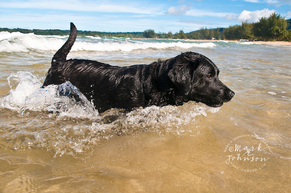 Black labrador retriever swimming in the ocean, Kauai, Hawaii *****Property Release available