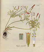 Candy cane sorrel (Oxalis versicolor). Illustration from 'Oxalis Monographia iconibus illustrata' by Nikolaus Joseph Jacquin (1797-1798). published 1794