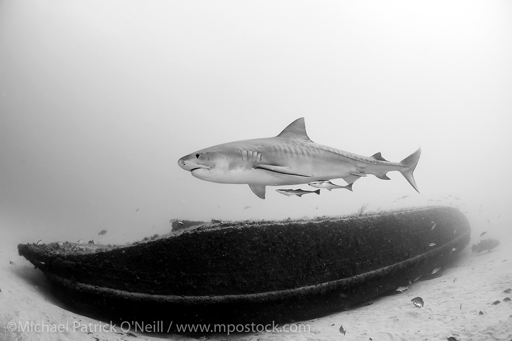 A Tiger Shark, Galeocerdo cuvier, swims near a sunken barge offshore Jupiter, Florida, USA, in Federal waters during a shark dive.