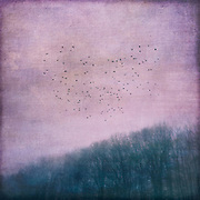 Flock of birds hovering over a forest - textured photograph<br /> Society6 prints: http://bit.ly/2g2NI7n<br /> Redbubble: http://rdbl.co/2gAK4oT