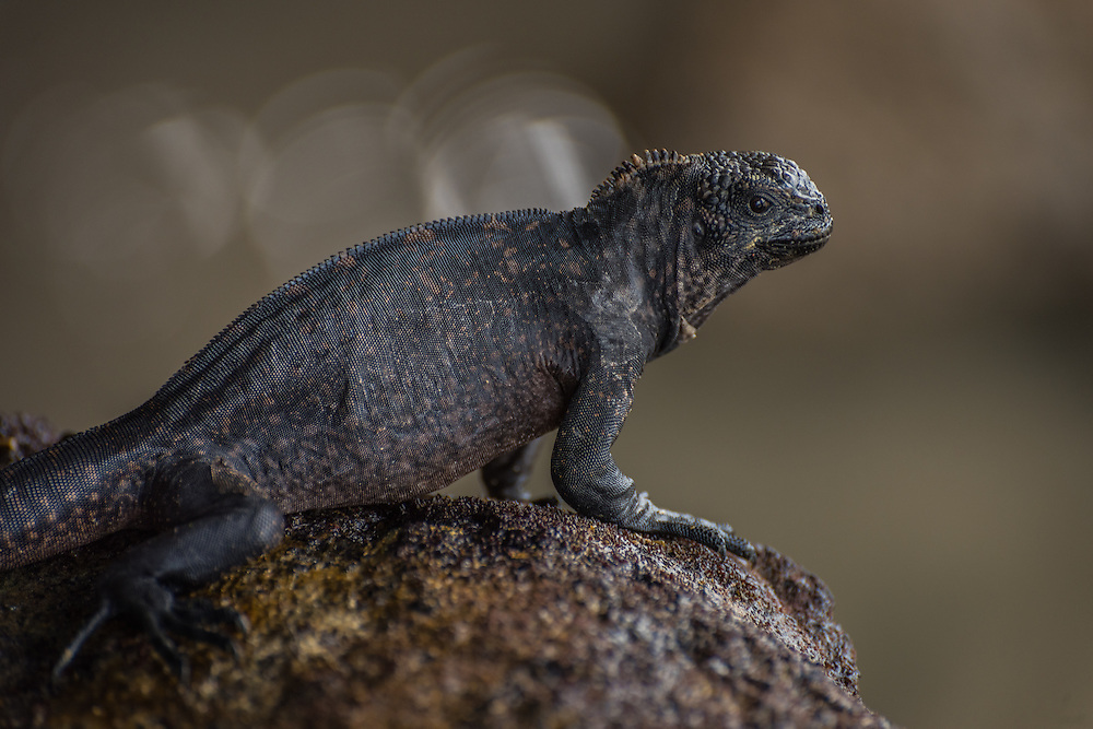 A marine iguana sits on top of a rock, sunbathing, Santa Cruz, Galapagos, Ecuador.