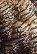 Breast feathers of great-horned owl have detailed  markings  having an evident camouflage effect. © 1983 David A. Ponton