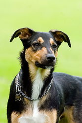 Handsome Young playful Juvenile Black and Tan mongrel dog stands focused and alert in the park  <br />