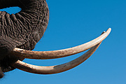Hundreds of thousand of elephants are killed each year for their tusk. Ivory is a status symbol in many Asian countries.
