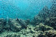 Streamer Hogfish (Bodianus diplotaenia) & baitfish<br /> Rabida Island<br /> Galapagos<br /> Pacific Ocean<br /> Ecuador, South America