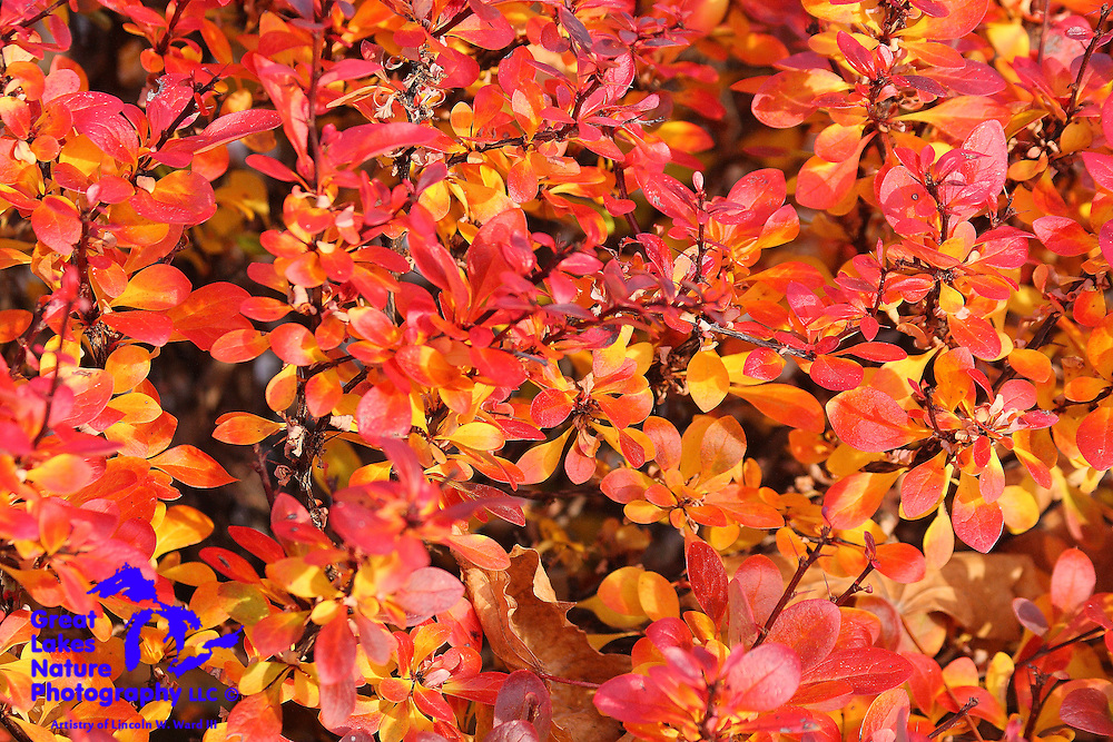 Spirea bushes continue to provide amazing fall colors well after most other deciduous trees have given up their leaves for the year.